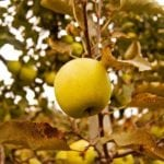 Easy Pickin's Apple Picking - 2Teaspoons