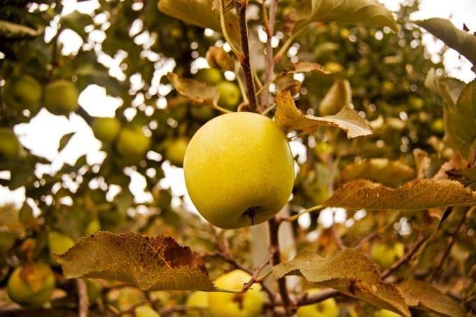 Easy Pickin's Apple Picking - 2Teaspoons