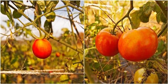 Easy Pickin's Veggie Picking - 2Teaspoons